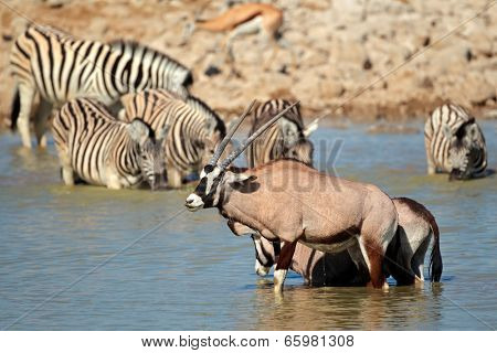 Gemsbok antelopes (Oryx gazella) and plains zebras (Equus burchelli) in water, Etosha National Park, Namibia