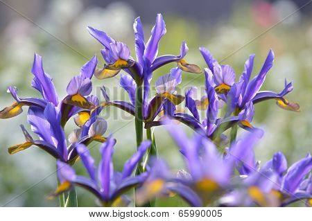A Bed of Irises
