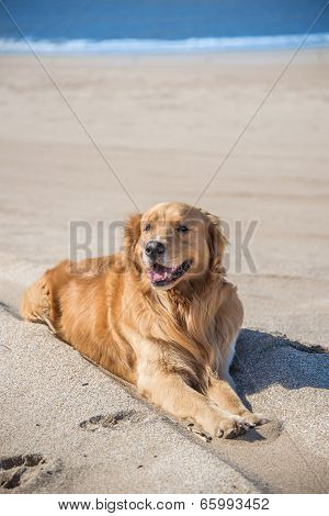 Beautiful Dog Golden Retriever Breed Enjoying At The Beach.