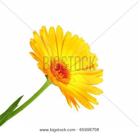 One Orange Flower Of Calendula