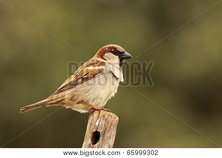 Male English Sparrow Perched