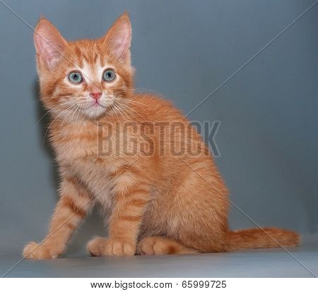 Scared Red Kitten Sitting  On Gray