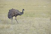 picture of ostrich plumage  - Emu - JPG