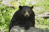 pic of cade  - A black bear rests in the shade - JPG