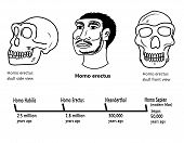 stock photo of homo  - Illustrations of  Homo erectus skulls side and front view and a face detail - JPG