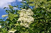 foto of elderberry  - Blooming medicinal elderberry on blue sky background - JPG