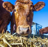 stock photo of cattle breeding  - friendly cattle on straw with blue sky - JPG