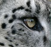 picture of panthera uncia  - Close up shot of eye of a Snow Leopard watching his prey - JPG