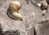 stock photo of hermaphrodite  - snail crawling down on stone close - JPG
