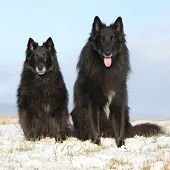 picture of ten years old  - Two amazing Groenendaels ten years old bitch with six years old son sitting in winter - JPG
