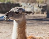 pic of lamas  - South American mammal lama portrait closeup summer day - JPG