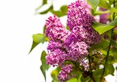 pic of lilac bush  - growing lilac bush on isolated white background - JPG