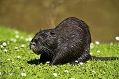 image of muskrat  - Portrait of a Nutria wild spring near the pond