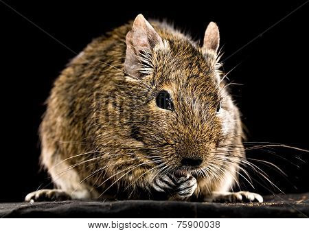 Degu Mouse Closeup On Black Background