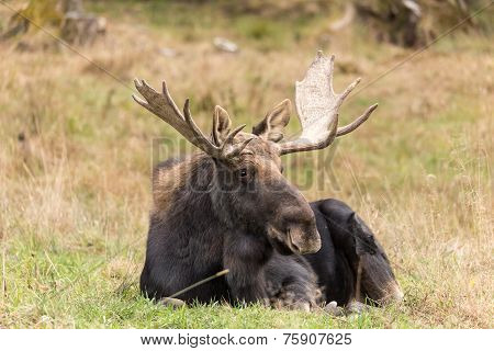 Large male moose with antlers
