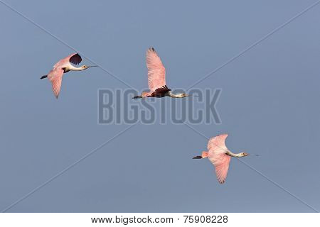 Three Roseate Spoonbills In Flight
