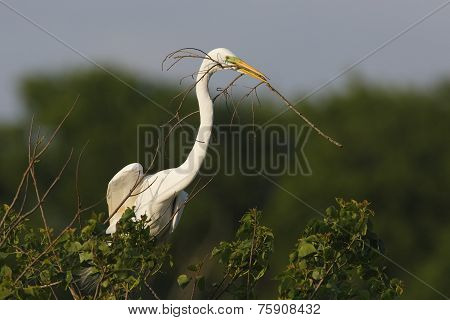 Great Egret Carrying Nesting Material In Its Beak