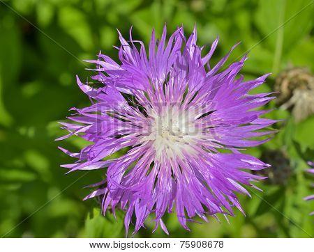 Medicinal Herb (rhaponticum Carthamoides)