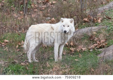 A lone Arctic Wolf in the woods