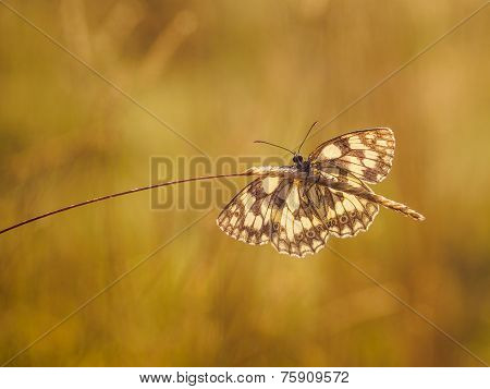 Marbled white sitting on a culm with extended wings