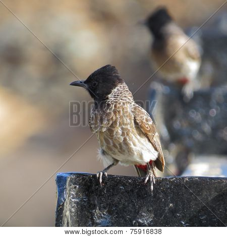 Closeup portrait of two perched Red Vented Bulbul one behind another looking in same direction