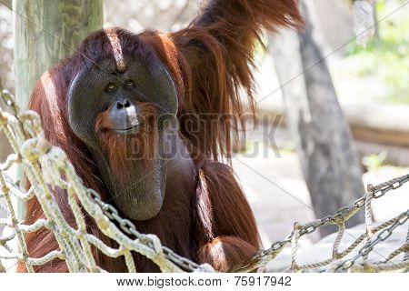 Orangutan looking chilled.