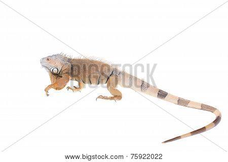Green Iguana on white