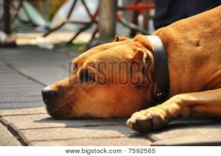 Brown Pit Bull Terrier Flop