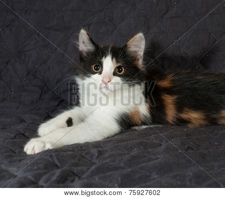 Tricolor Kitten Sitting On Black  Bedspread