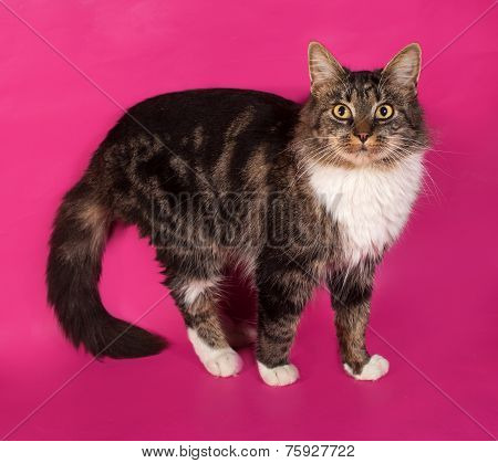 Longhaired Tabby And White Cat Standing On Pink