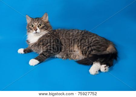 Longhaired Tabby And White Kitten Lying On Blue
