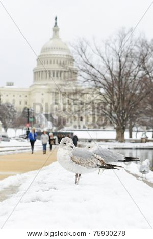Washington DC in Winter - Seagull with Capitol Building background