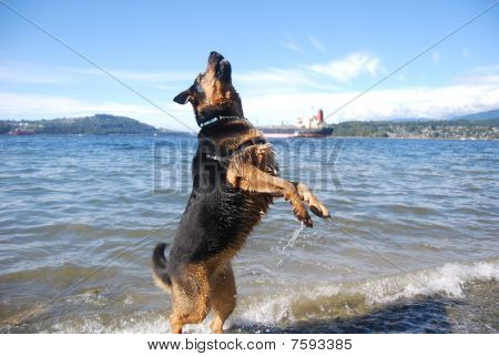 Rottweiler/Shepherd