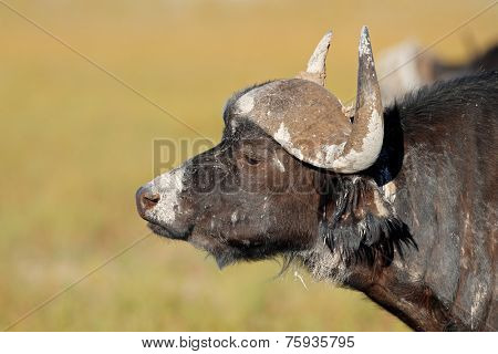 Portrait of a mud covered African or Cape buffalo (Syncerus caffer), South Africa