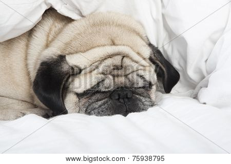 Sleeping Pug Face