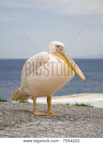 White Pelican In The Background Of The Sea