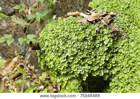 Liverworts Growing On A Water Fountain.