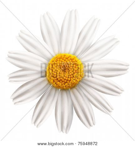 Beautiful camomile on white background. File contains clipping paths.
