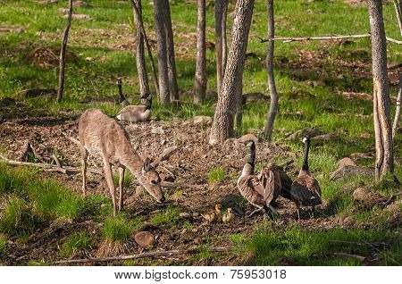 White-tailed Deer (odocoileus Virginianus) And Canada Goose (branta Canadensis) Family