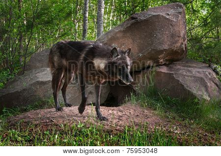Black Wolf (canis Lupus) Stands In Front Of Den Paw Raised