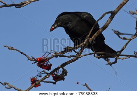 Black Crow Sitting On Mountain Ash And Eat Its Fruits