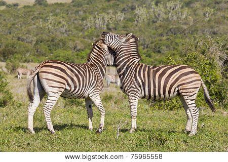 Zebras Rubbing Heads