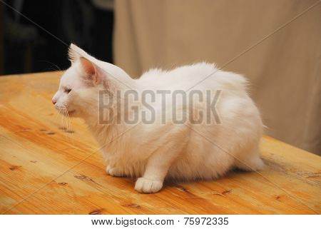 Young White Male Cat
