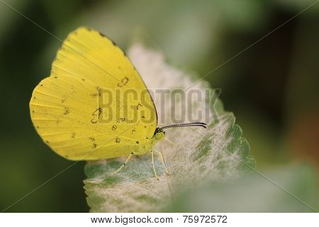 Lemon Migrant Butterfly and green leaf,a beautiful butterfly on the green