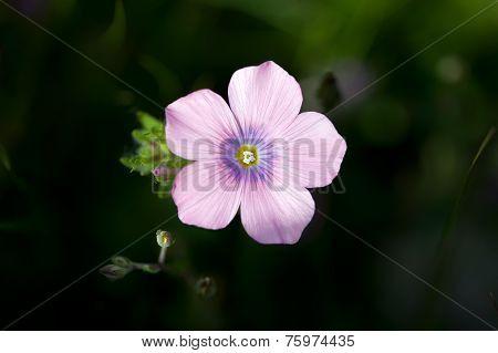 Pink Oxalis Debilis, The Pink Wood Sorrel In Garden
