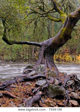 Twisted Oak Tree On Riverbank