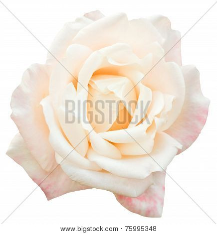 White And Pink Fresh Rose Flower Close Up Isolated
