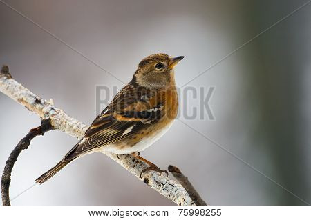 Brambling Female Perched On A Branch