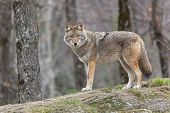 picture of coyote  - Coyotes - JPG