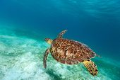 foto of hawksbill turtle  - Hawksbill sea turtle swimming in tropical ocean - JPG